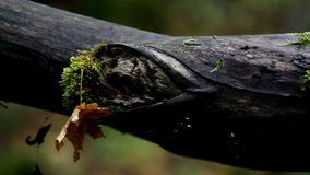 Tree branch with moss and an attached withered leaf stock video