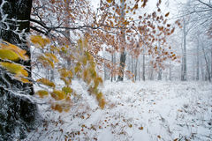 Tree branch moving during heavy storm in winter snow-covered forest Royalty Free Stock Image