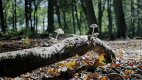Tree Branch with Mushrooms Laying in Autumn Forest. Medium long low angle high dynamic range shallow depth of field tracking slider shot of white Fibercap stock footage