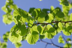 Tree branch. Nature forest vood leaf summer sunshine Royalty Free Stock Photography