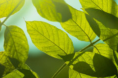 Tree branch over blurred green leaves background Royalty Free Stock Photo