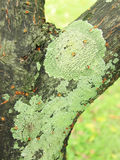 Tree branch overgrown with lichen Stock Images