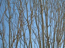 Tree-Branch Patterns. The patterns created by leaf-less branches and trunks against a blue sky royalty free stock photo
