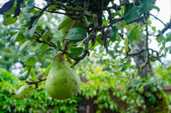 Tree branch with pear fruit. In the garden Royalty Free Stock Photos