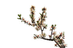 Tree branch with pink flowers Stock Photography