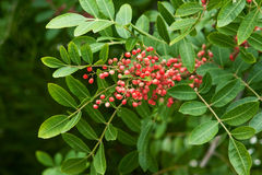 Tree branch with red berries Royalty Free Stock Images