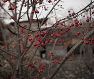 tree branch red berries close-up outdoor garden bokeh background autumn texture day stock photography