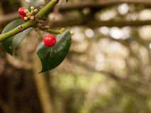 Tree Branch With red Berries and green leaves royalty free stock photography
