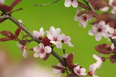 Tree branch with red pink flowers Royalty Free Stock Photography