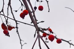 Tree Branch with redness Stock Photo