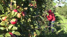 Tree branch with ripe fruits and blurred female fruit picker harvest apples. 4K. Fruiter tree branch with ripe red fruits and blurred female fruit picker harvest stock video