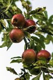 Ripe Red Aplles. A tree branch of ripe red apples Stock Photography