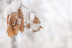 Tree branch with several dry yellow leaves covered with snow. And shallow field Stock Image
