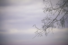 Tree Branch. A tree branch silhouette against a purple sky Royalty Free Stock Photography