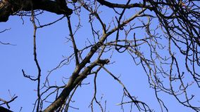 Tree branch silhouette without leaves with blue sky background stock video footage