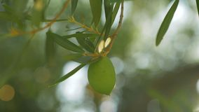 Tree branch with single green olive. Close-up shot of a tree branch with single green olive. View in sun light. Agriculture and cultivation stock footage