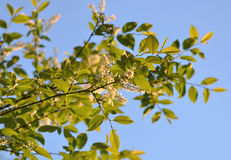 Tree branch on sky background. On the branch of a tree flowers bloom in spring, and young green leaves Stock Photo