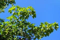 Tree, Branch, Sky, Leaf royalty free stock photo