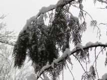 Tree branch in the snow. Stock Image