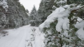 Tree branch in the snow in the wind christmas swinging nature winter forest landscape. Tree branch in the snow in wind christmas swinging nature winter forest stock video footage