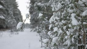 Tree branch in the snow in the wind christmas swinging winter forest nature landscape. Tree branch in the snow in wind christmas swinging winter forest nature stock video