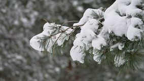 Tree branch in the snow in wind christmas swinging winter forest nature landscape. Tree branch in snow in wind christmas swinging winter forest nature landscape stock video