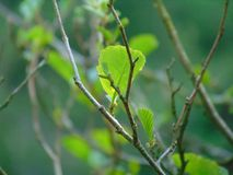 Tree branch in spring royalty free stock photo