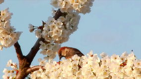 Tree branch, springtime. Branch with spring flowers on a cherry tree swinging in the wind with a bird looking around stock footage