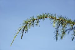 Tree branch Royalty Free Stock Image