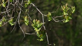 Tree branch starting with new leafs at early spring. stock video footage