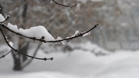 Tree branch swaying in the wind, covered with snow close-up during the big snowfall in Moscow. 4K shot of a big snowfall in Moscow. Tree branch swaying in the stock video footage