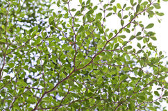 Tree branch of Terminalia ivorensis Chev Royalty Free Stock Images
