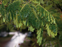 Tree branch under rain Royalty Free Stock Photography