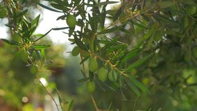 Green tree branch with olives on sunny day. Tree branch with unripe olives on sunny day, view against green blurred garden stock video footage