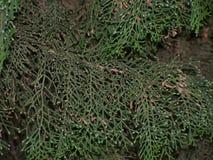 Tree branch, Vorontsov Palace garden Royalty Free Stock Photo