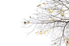 Tree branch. This is a tree branch in a white background Stock Photo