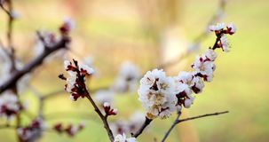 Tree Branch With White Flowers stock video footage
