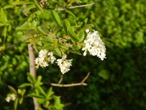 Tree branch with white flowers Stock Photos