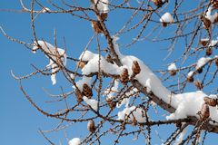 Tree branch in winter. Tree branch with the cones covered with snow on the blue sky background Stock Photography