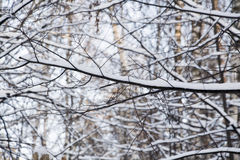 Tree branch in winter forest Stock Images