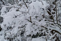Tree branch in winter with snow. In Rusia Stock Photos