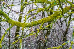Tree branch on a winter snowy morning. With green and yellow lichens on it and drops of melting snow. italian hills Stock Photos