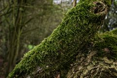 A tree branch in the woods covered in beautiful green moss. royalty free stock image