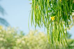 Tree branch with yellow flower and long pods. Tecoma stans. Tree branch with yellow flower and long pods hanging down. Tecoma stans royalty free stock image