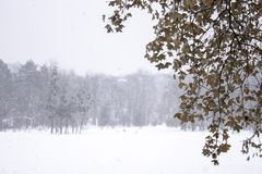 Tree branch with yellow foliage on a background of white snow snows and a cloudy snowy sky on a winter day in the forest during a. Snowfall conceptual photo of stock photography