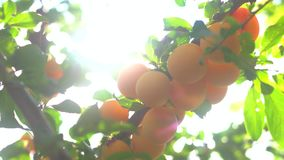 Tree branch with yellow fruits. Sunshine and green leaves. Juicy cherry plums. Garden gives rich crop stock video footage