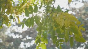 Tree branch with yellow leaves blown by the wind and sun shining over it on an autumn day -. Tree branch with yellow leaves blown by the wind and sun shining stock video footage