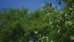 Tree branch of tree with young green leaves on a blue sky background on light wind. selective focus.  stock footage