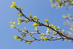 Tree branch with young leaves and buds stock photos