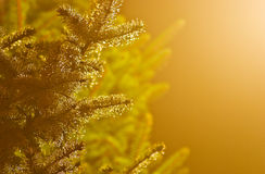 Wet branches of fir tree Stock Image